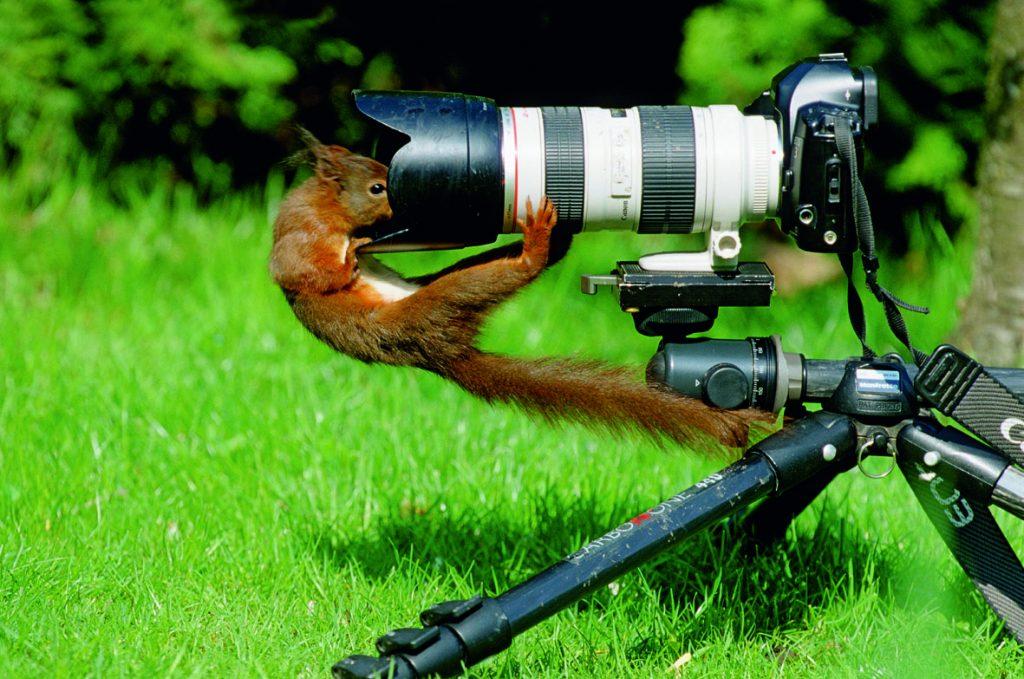 Squirrel, Scirius vulgarisvon seite, Fell, braun, schaut in Objektiv, Fotoapperat, dahinter Wiese, unscharf, frech, neugierig,